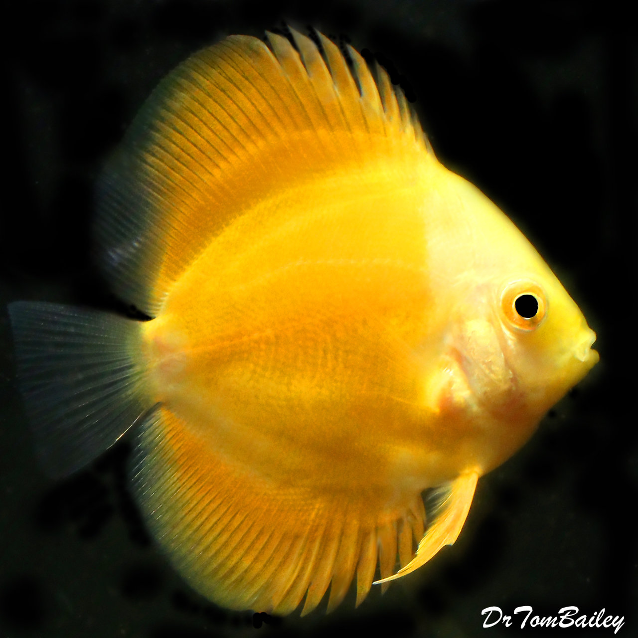 "Premium Rare New, WYSIWYG Yellow Marlboro Discus, 3"" to 3.5"" long"