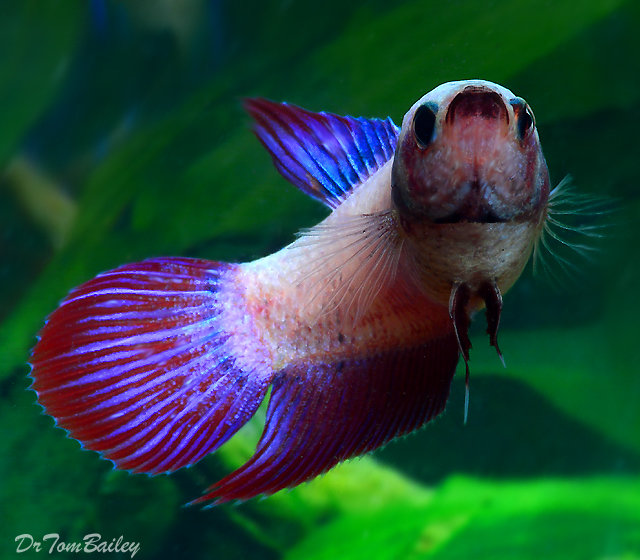 Premium Female Cambodian Betta Fish, 1
