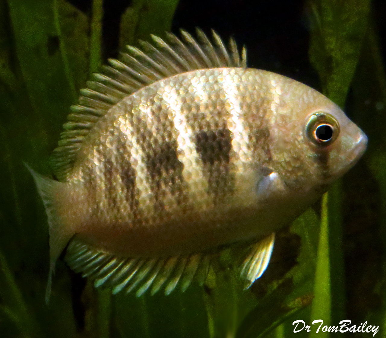 "Premium Very Rare, Canara Pearlspot Chromide Cichlid, 2"" to 2.5"" long"