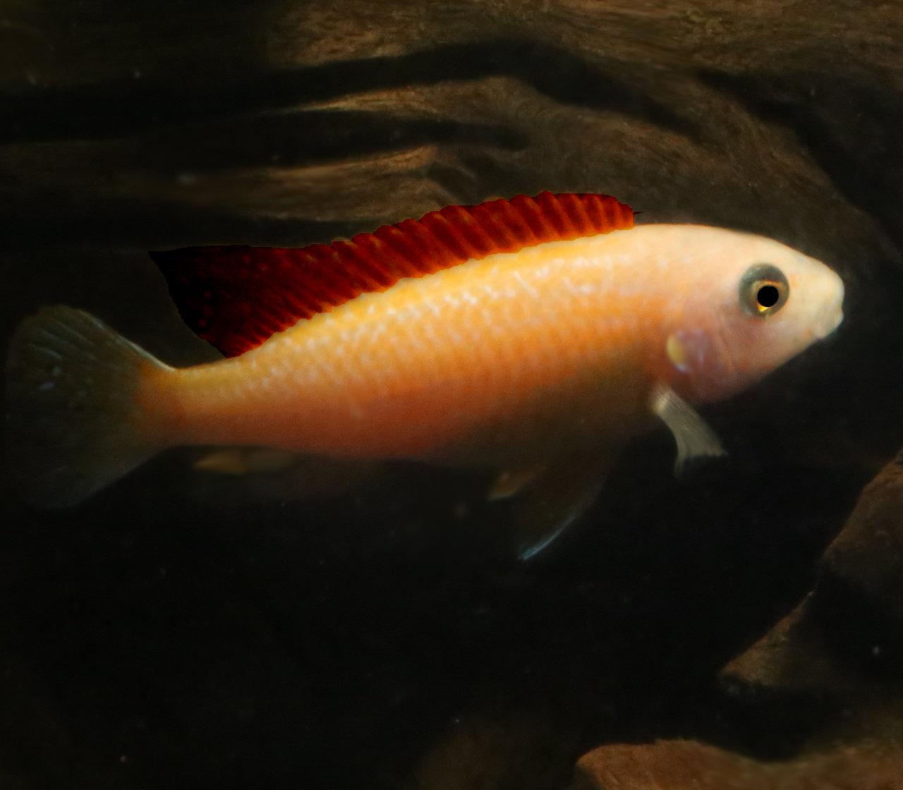 "Premium, New and Rare, Red Exasperatus Mbuna Cichlid, 1.5"" to 2"" long"