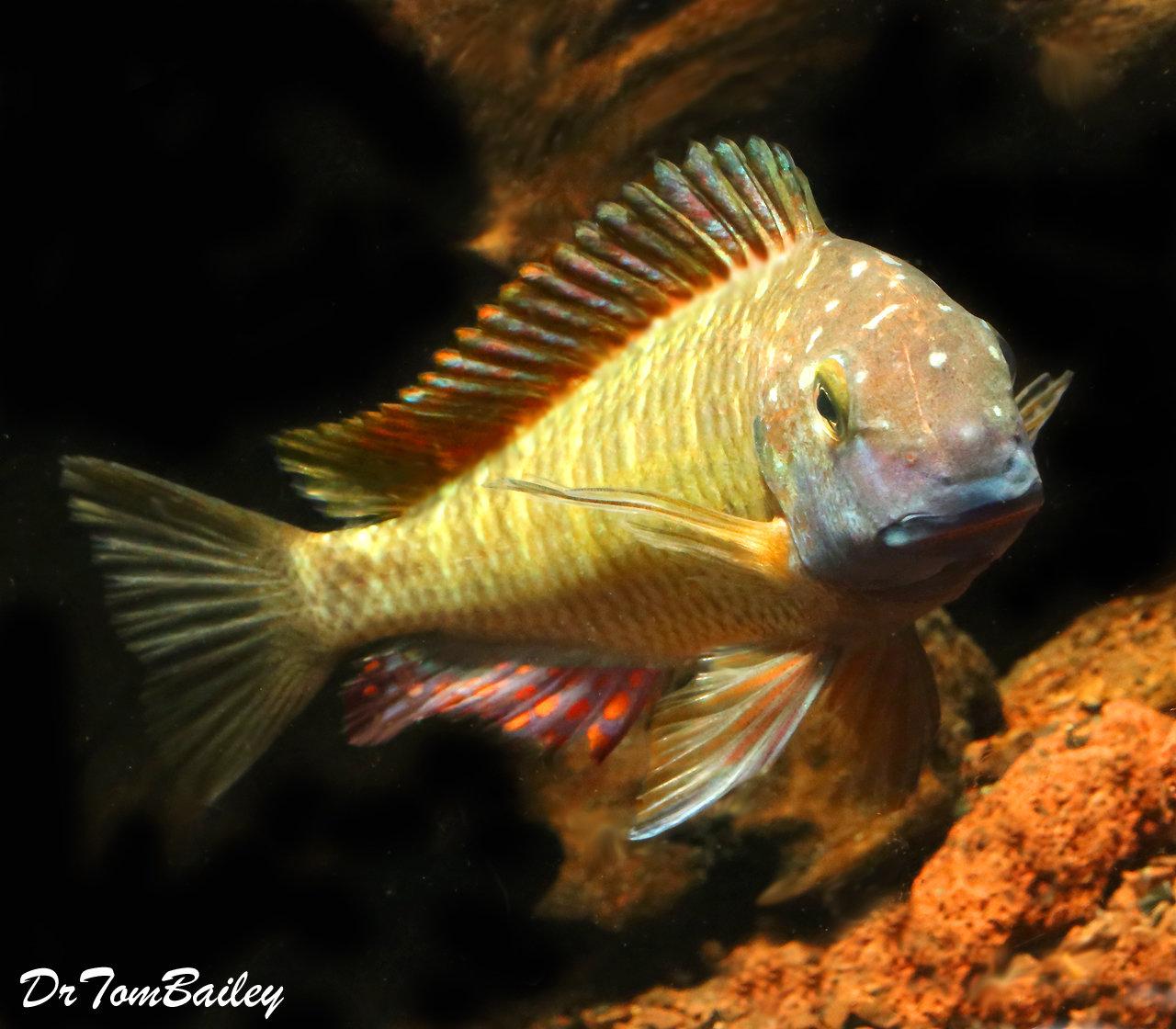"""Premium WYSIWYG Wild from Lake Tanganyika, Red Rainbow Tropheus Moorii Cichlid, 4"""" to 5"""" long"""