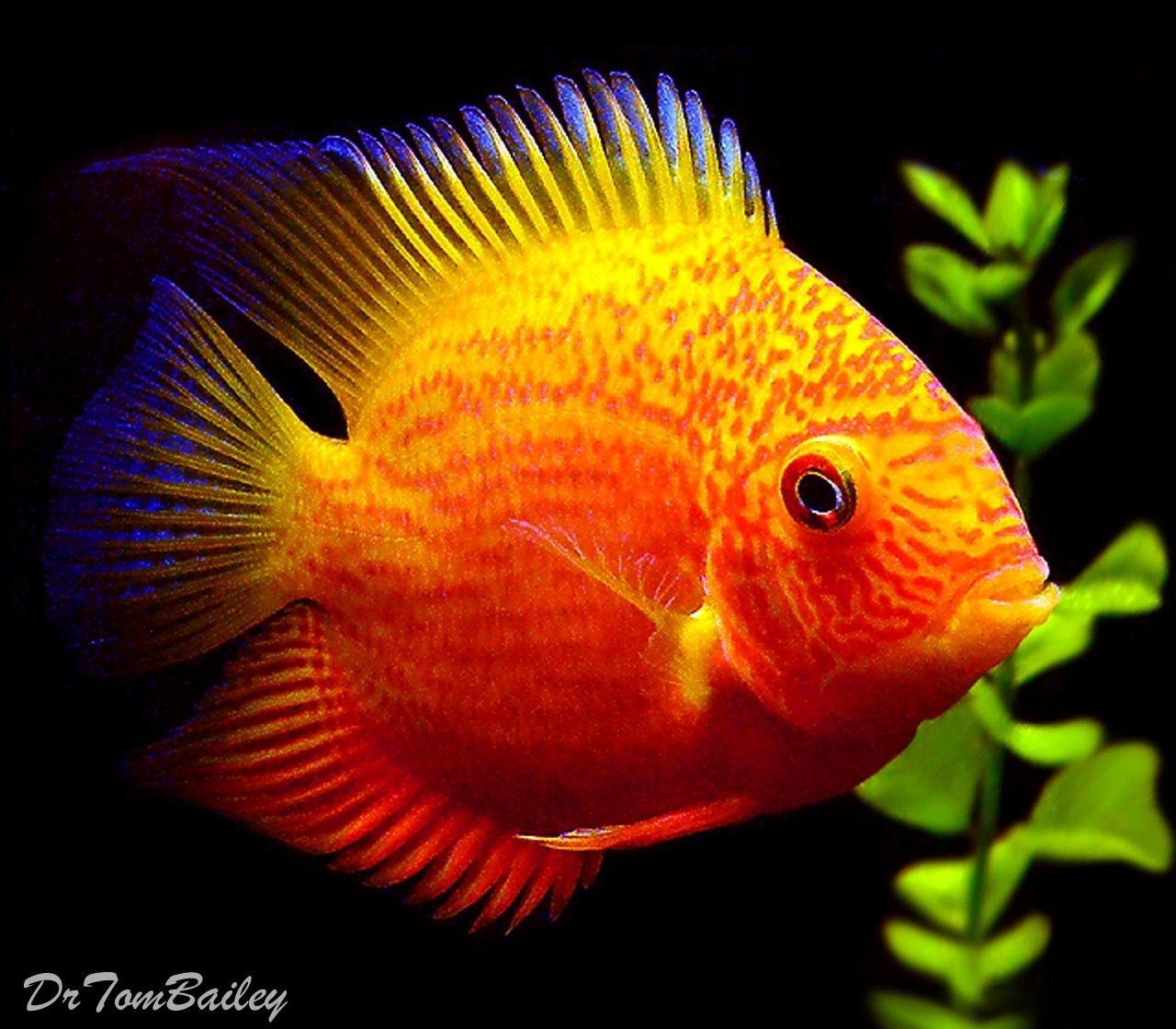 Premium Red Spotted Severum Cichlid 3 To 3 5 Long