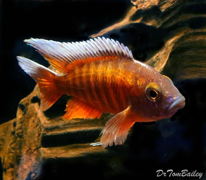 Premium Lake Malawi, Butterfly Peacock Cichlid, 4