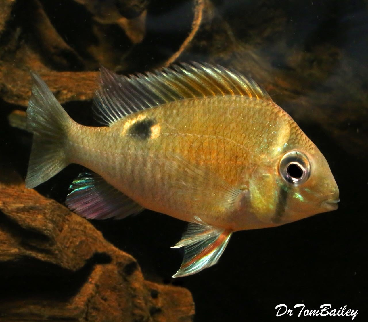 "Premium Rare, Wild Cupid Cichlid, 3"" to 3.5"" long"