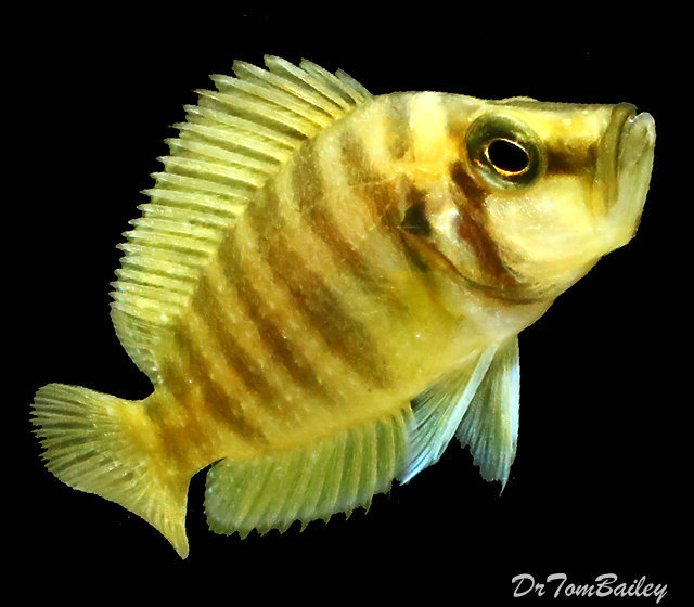 "Premium Rare, Wild, Lake Tanganyika Gold Head Altolamprologus Compressiceps Cichlid, 3.5"" to 4"" long"