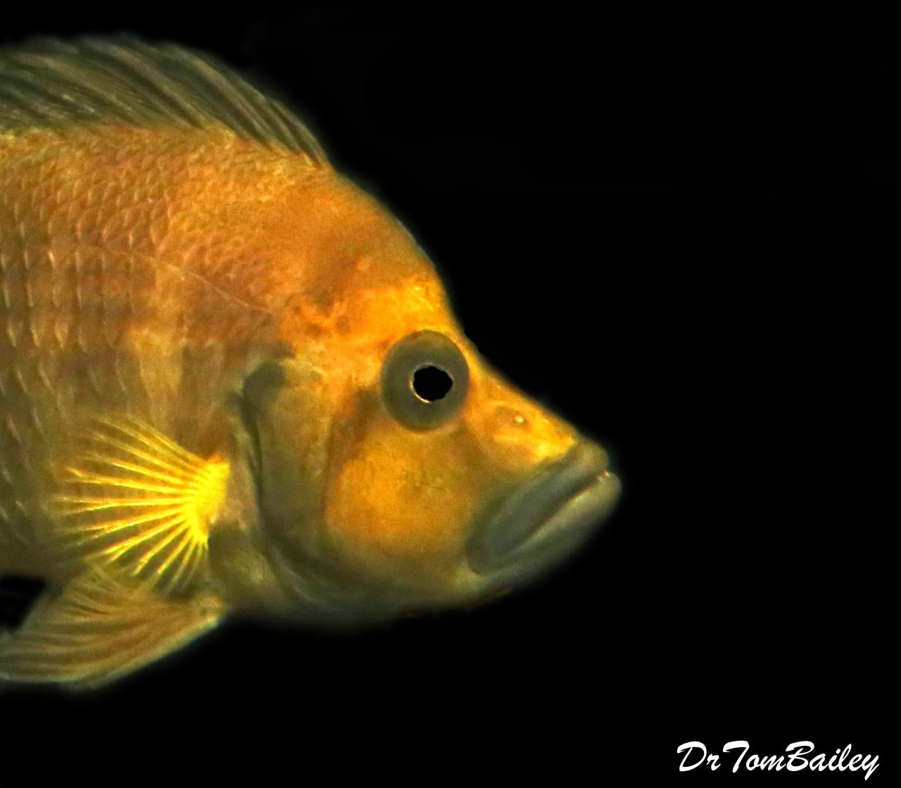 "Premium WYSIWYG, Rare, Wild, Lake Tanganyika Gold Head Altolamprologus Compressiceps Cichlid, 3"" to 4"" long"