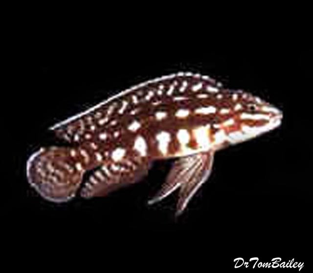 "Premium Wild Lake Tanganyika Plaid Kipili Juli Cichlid, 3"" to 3.5"" long"