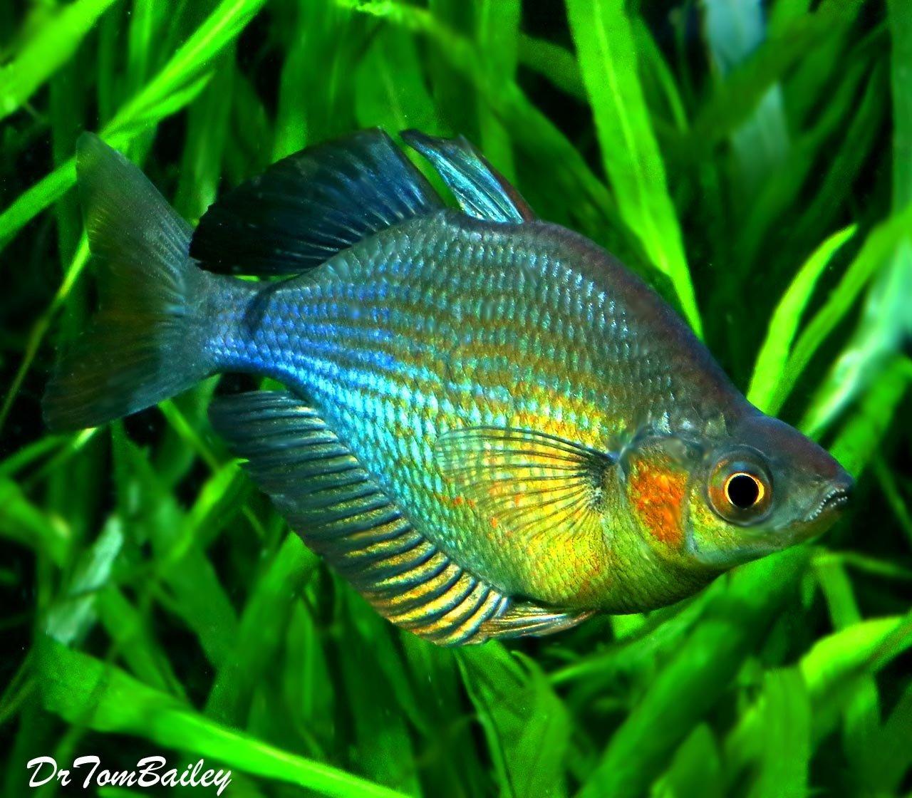"""Premium Turquoise Rainbowfish, 2"""" to 2.5"""" long"""