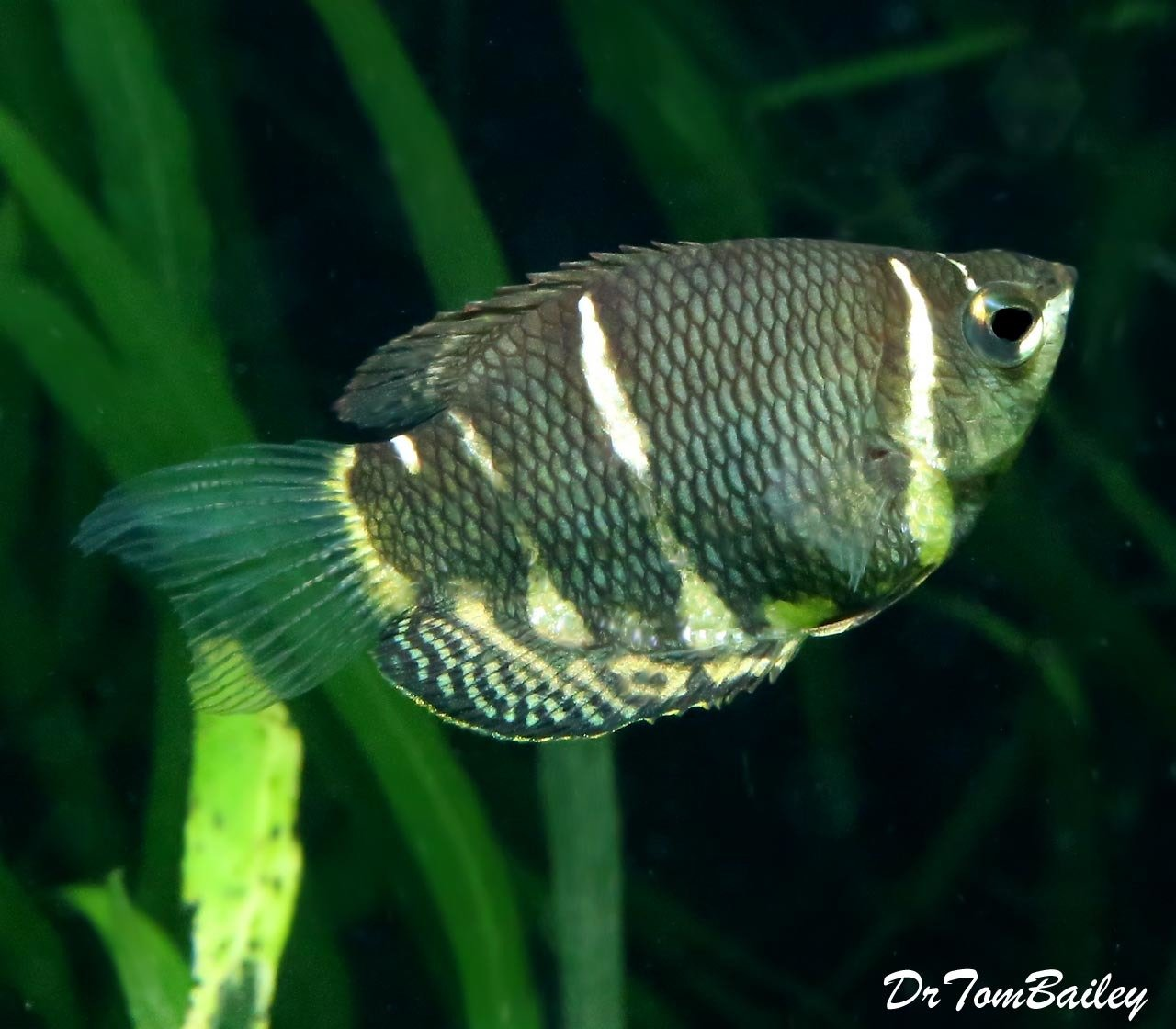 "Premium Rare Chocolate Gourami, 1"" to 1.2"" long"