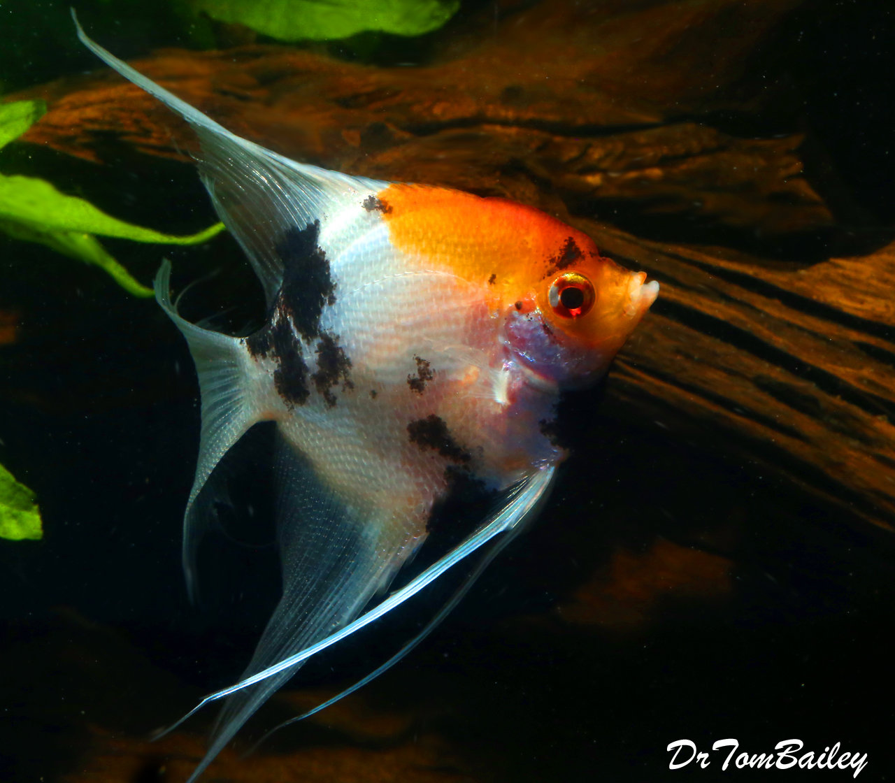 "Premium Rare New WYSIWYG Veiltail Koi Angelfish, 4.5"" to 5"" tall"