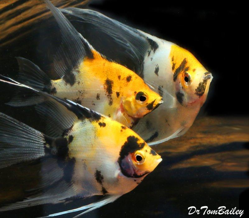 Premium Rare New Veiltail Koi Angelfish, 4.5