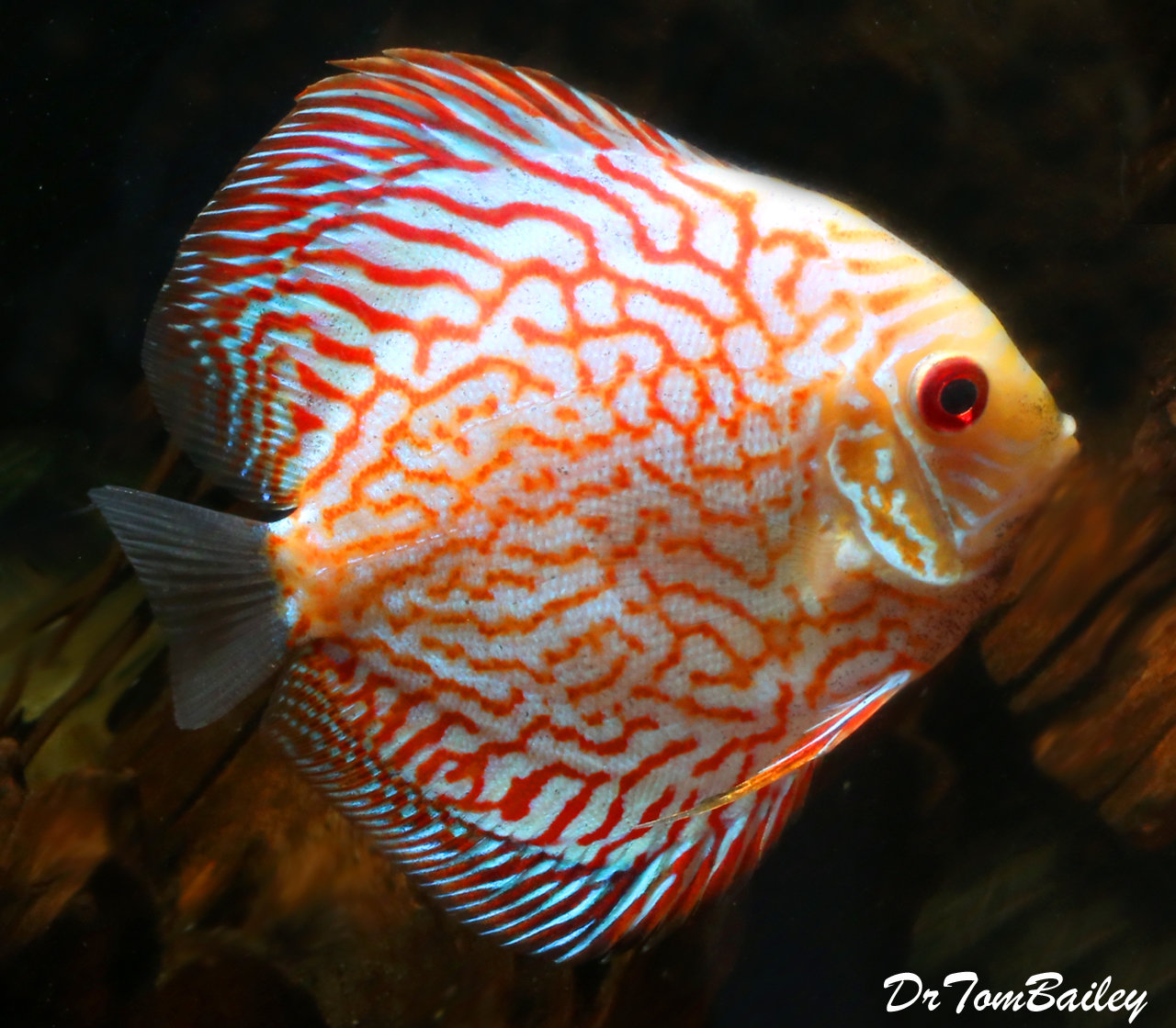 "Premium Red Pigeon Blood Discus, 3.5"" to 4"" long"
