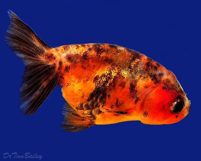 Premium Assorted Lionhead Goldfish, 2