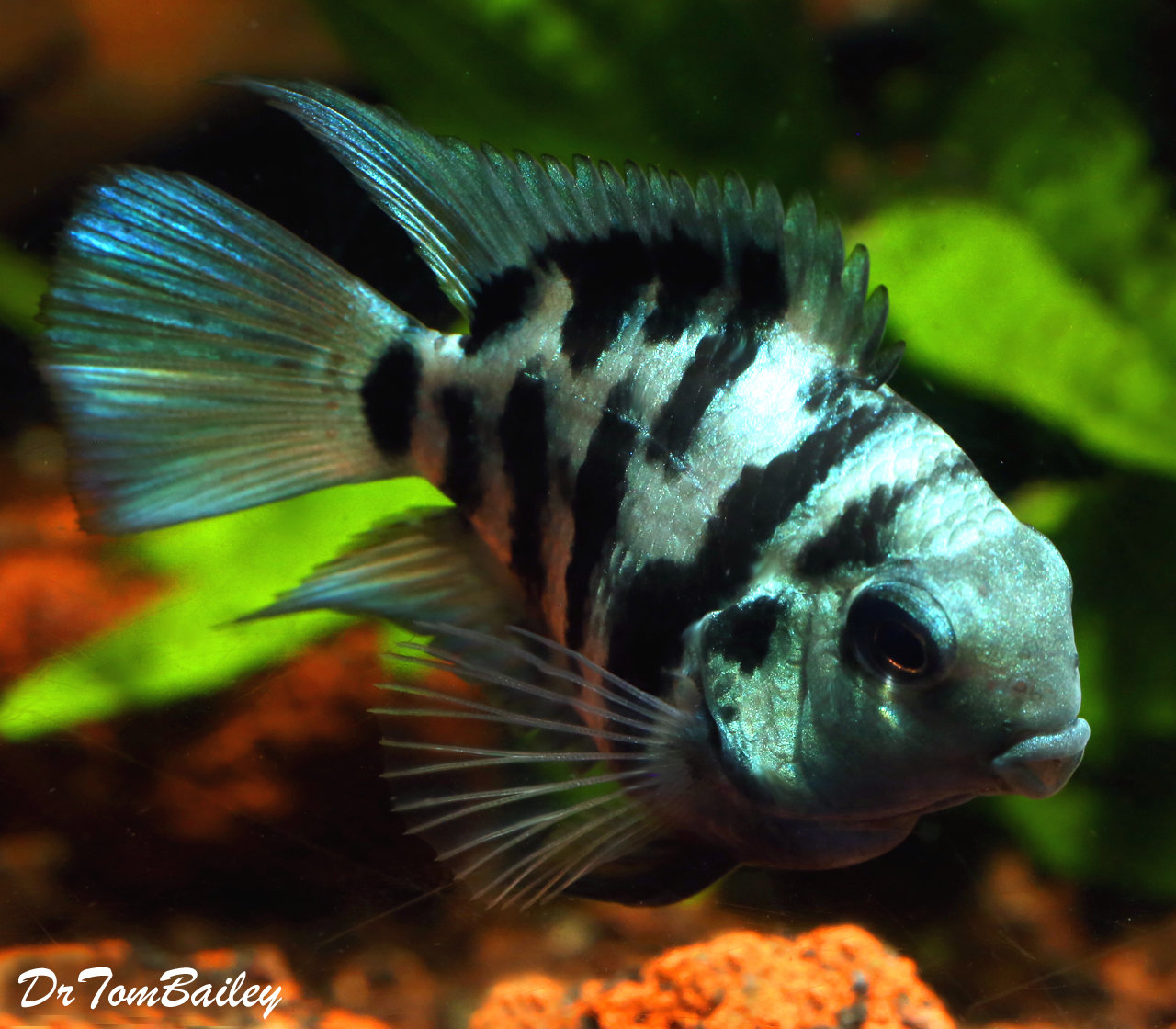 "Premium Rare New, Polar Blue Convict Parrot Cichlid, 2"" to 2.5"" long"