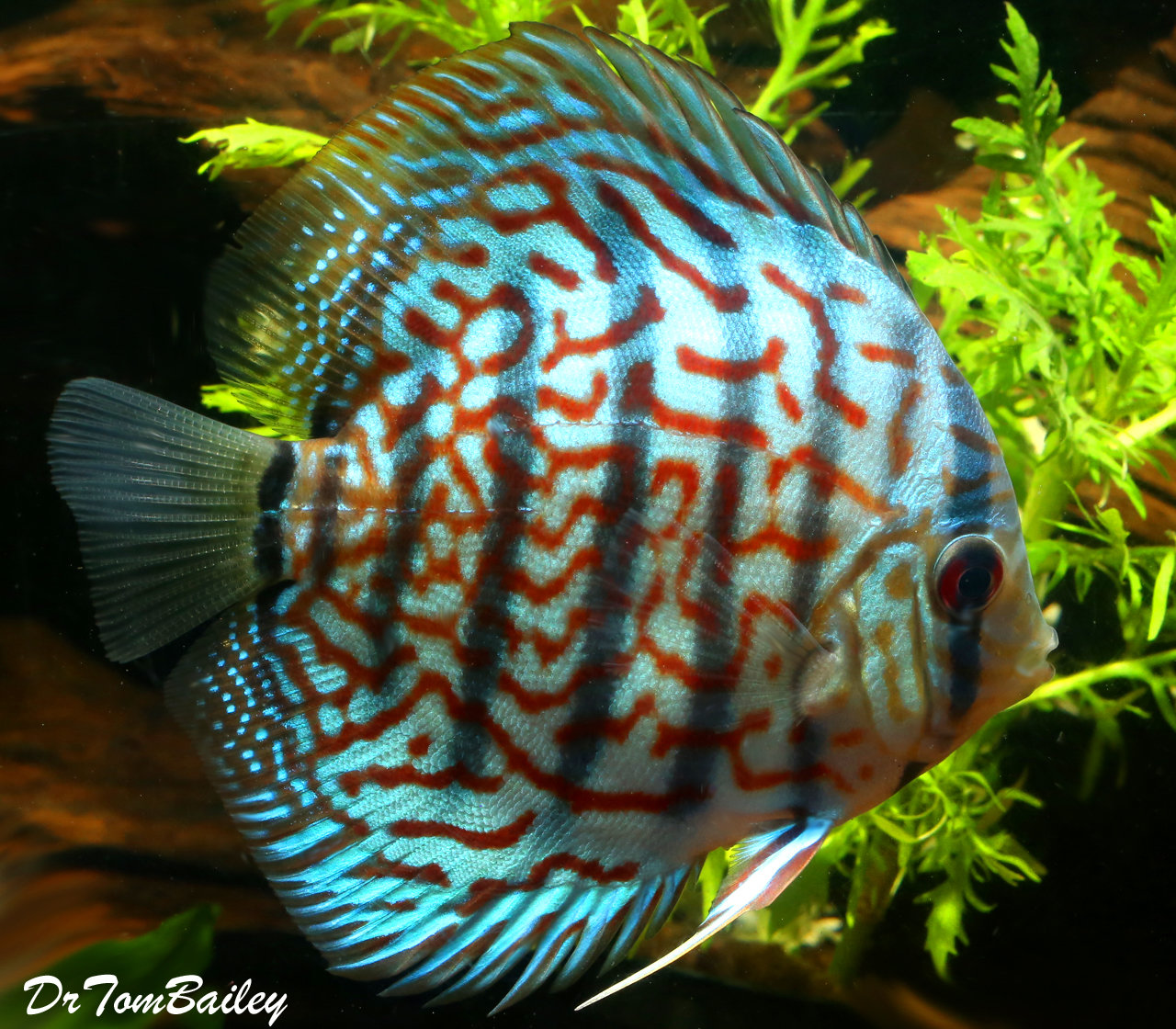 """Premium WYSIWYG Red & Turquoise Discus, 3.5"""" to 4"""" long"""