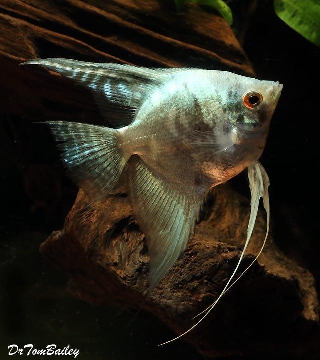 "Premium Leopard Angelfish, 2.5"" to 3"" tall"