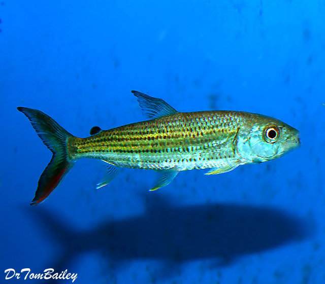 "Premium, Rare, Wild, African Tiger Fish, 3"" to 3.5"" long"