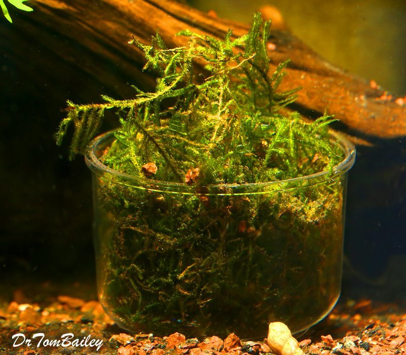 Premium Java Moss Plant in a Cup, 3.5