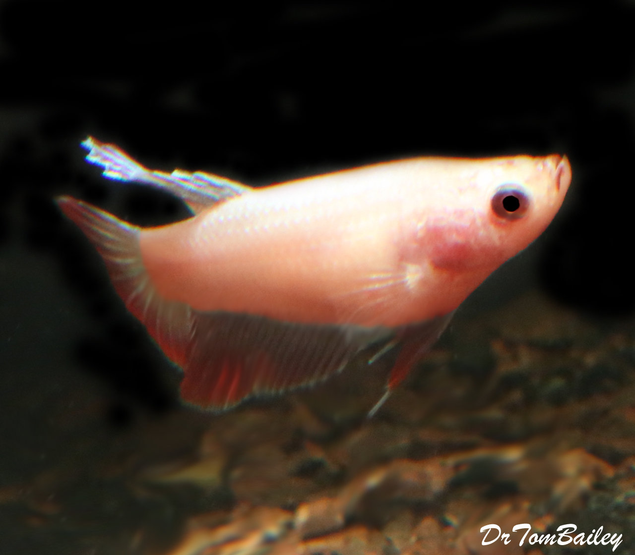 "Premium FEMALE Pink Betta Fish, Size: 1"" to 1.2"""