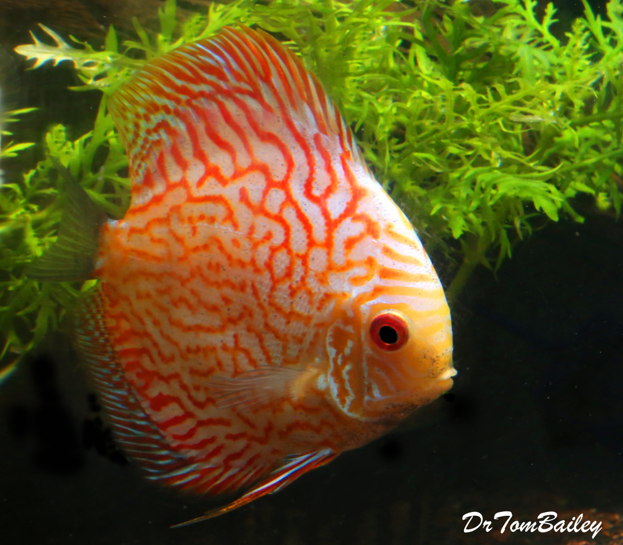 """Premium WYSIWYG Red Pigeon Blood Discus, 3.5"""" to 4"""" long"""