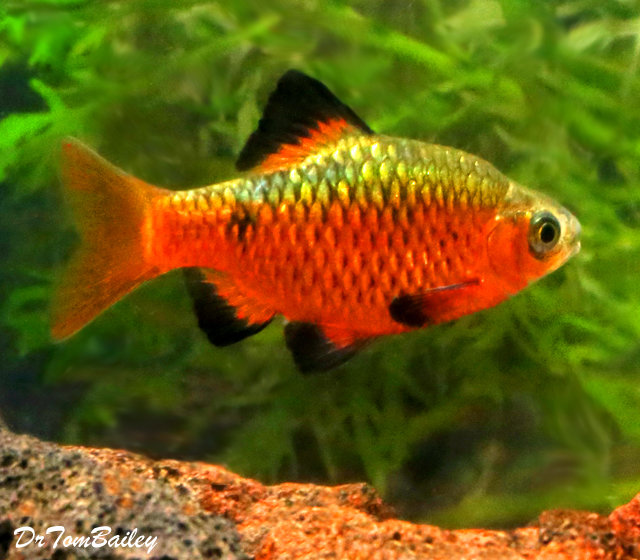 "Premium MALE Rosy Barb, Size: 1.5"" to 2"""
