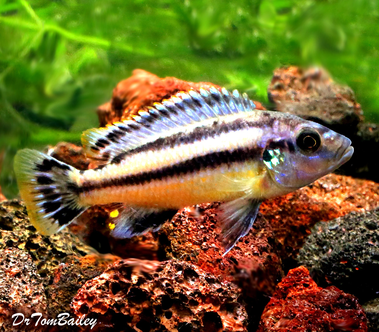 "Premium Melanochromis Chipokae, Mbuna Cichlid from Lake Malawi, 3"" to 3.5"" long"