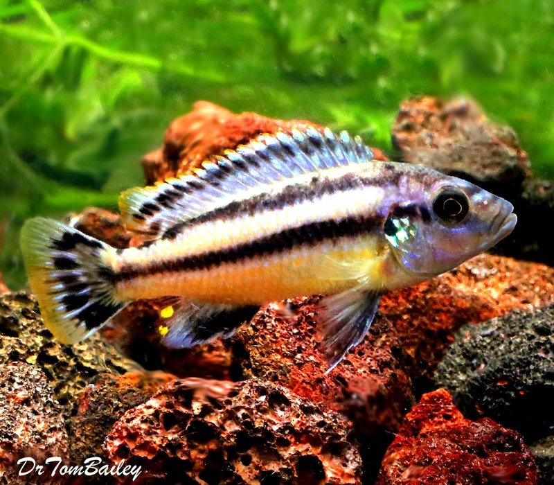 Premium Melanochromis Chipokae, Mbuna Cichlid from Lake Malawi, 3