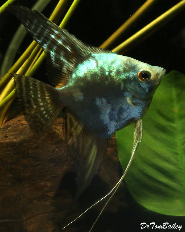 "Premium Rare Blue Smoke Pinoy Angelfish, 2.5"" to 3"" tall"