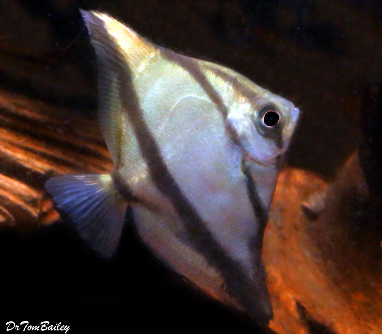 "Premium Freshwater Mono. Sebae, 2"" to 2.5"" tall"
