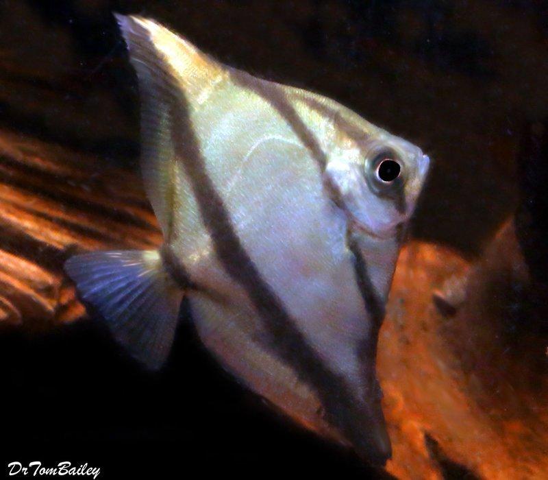 Premium Freshwater Mono. Sebae, 2