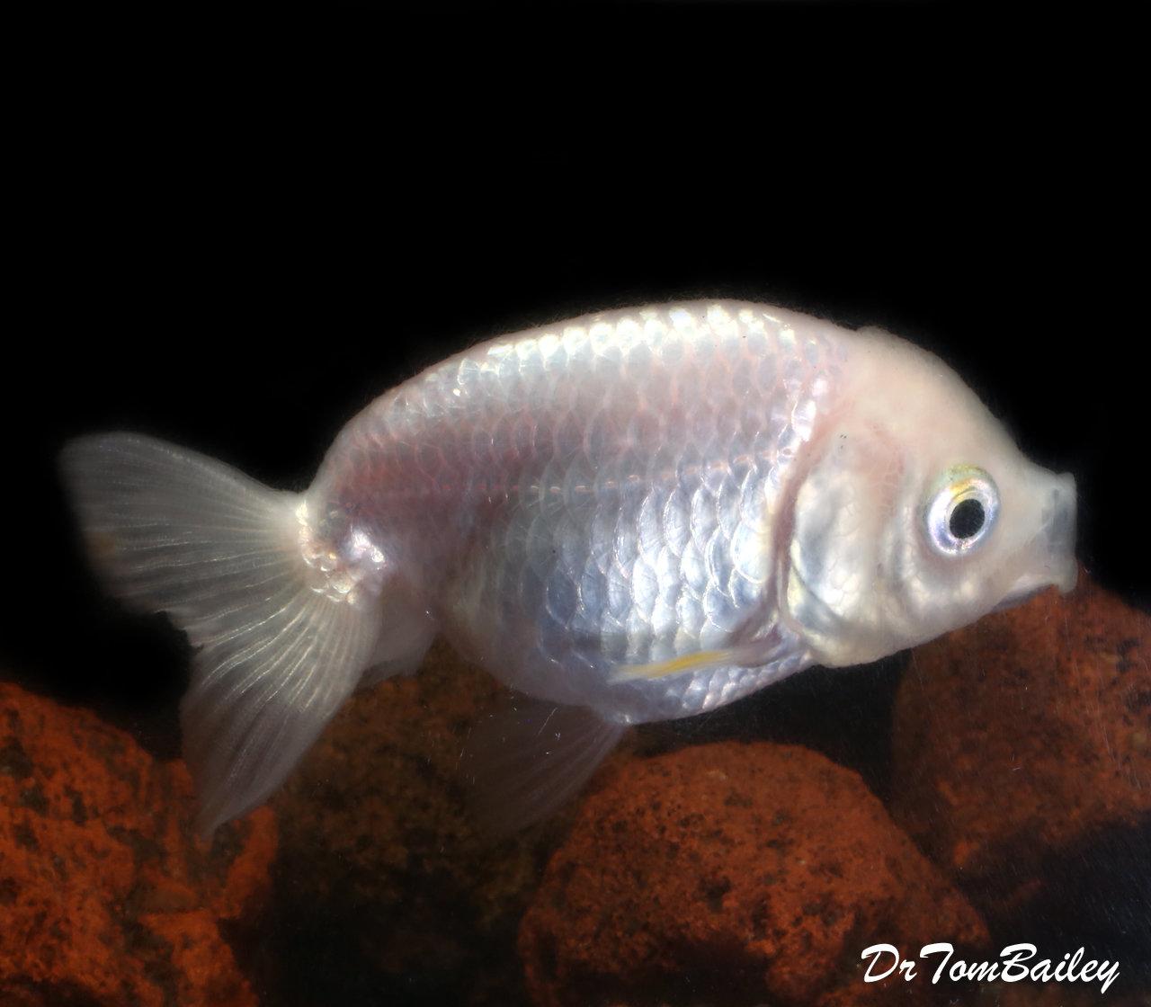 "Premium Rare Pearl White Ranchu Goldfish, 2.5"" to 3"" long"