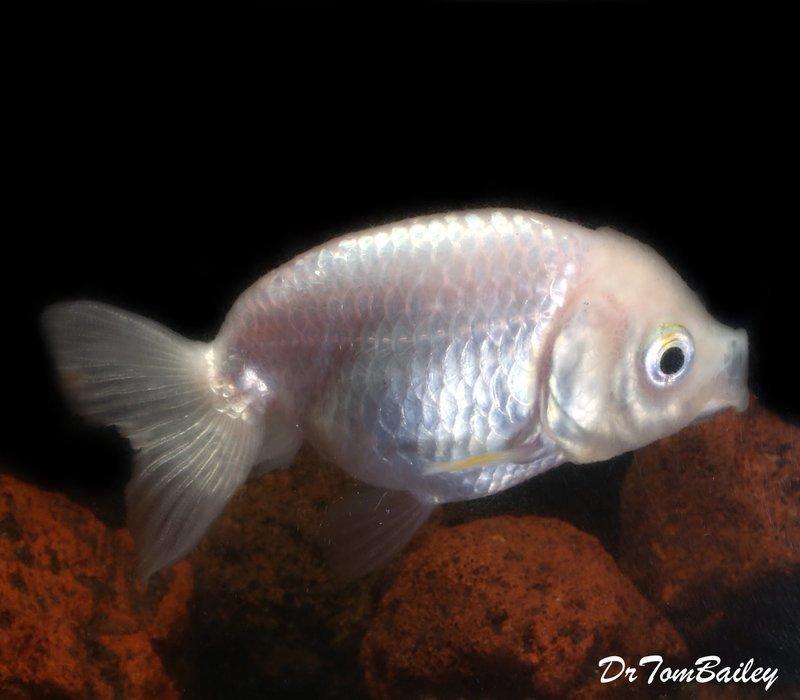Premium Rare Pearl White Ranchu Goldfish, 2.5