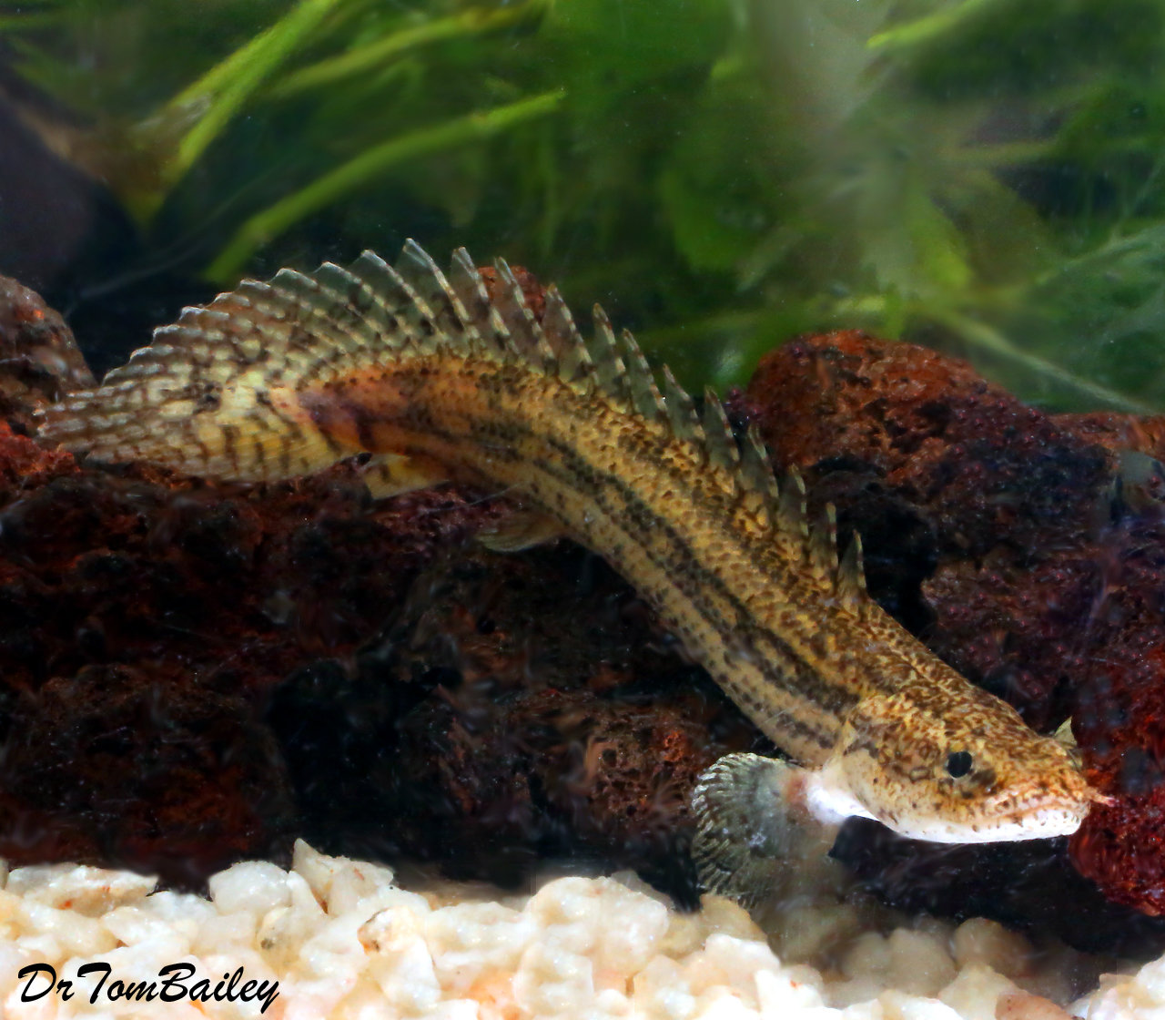 "Premium Rare and New, Lapradei (Koliba) Bichir, Size: 3.5"" to 4"""