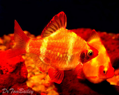 """Premium Gold Tiger Barb, Size: 0.75"""" to 1"""""""