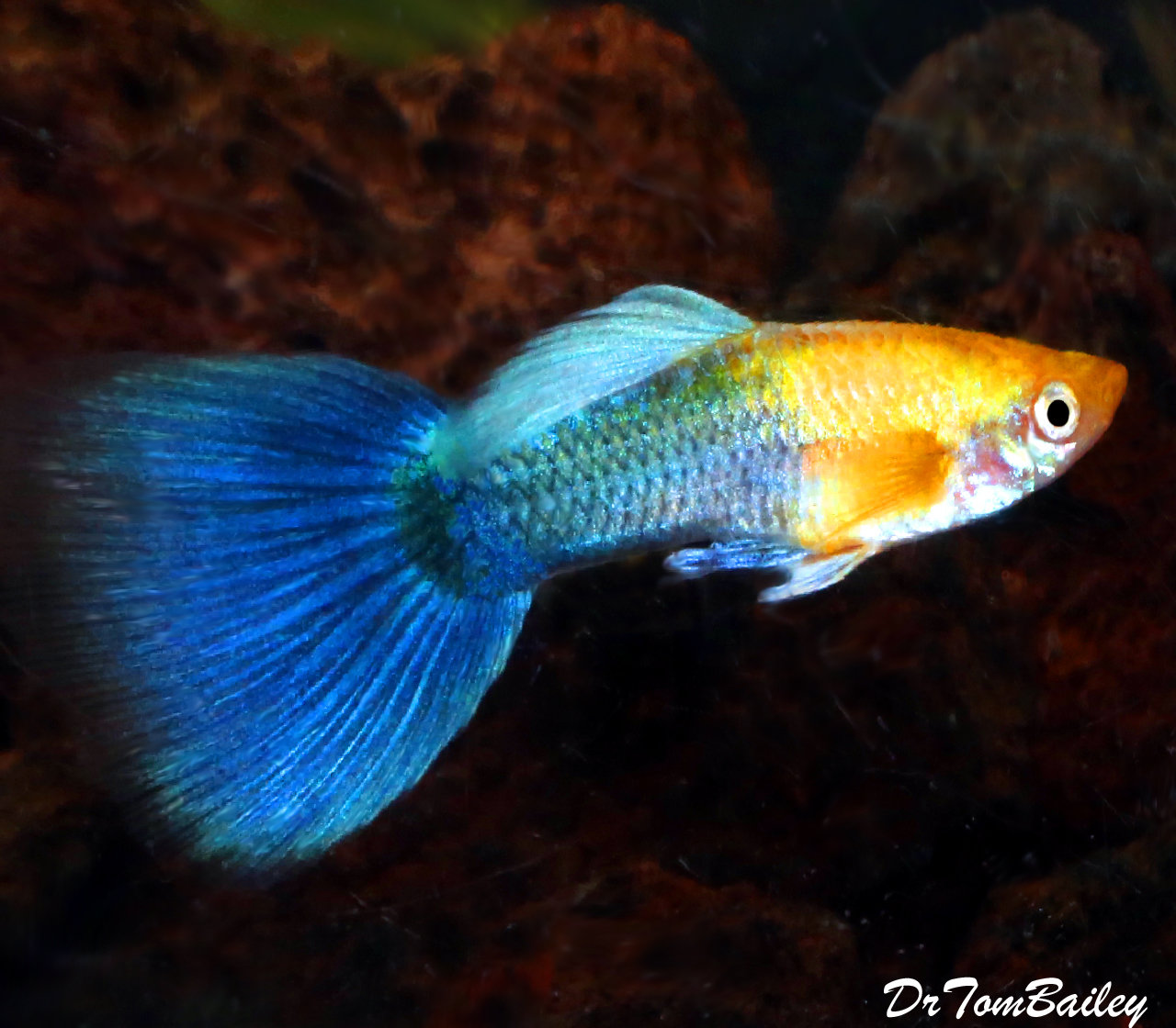 "Premium MALE New Hawaiian Sunset Fancy Guppy, 1"" to 1.5"" long"