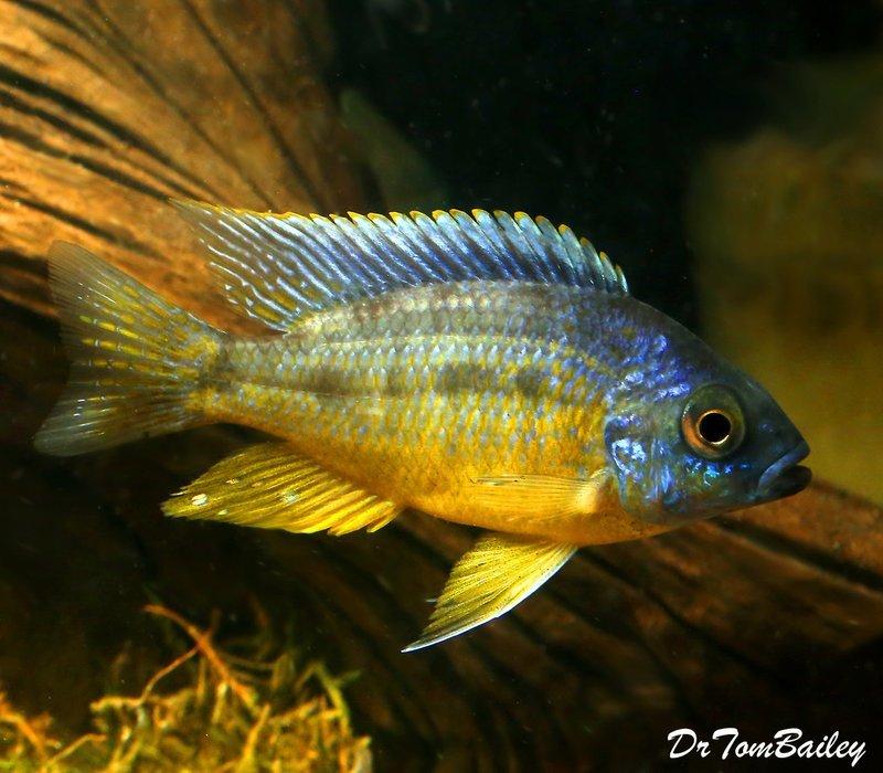 Premium Rare New, Spilonotus Tanzania from Lake Malawi, 5