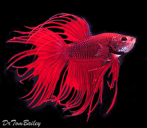 """Premium MALE Red Crowntail Betta Fish, 2.5"""" to 3"""" long"""
