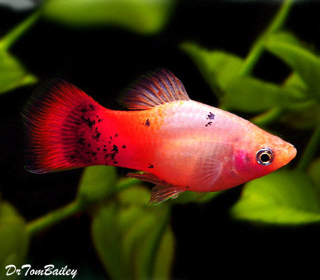 "Premium Rare, Tri-Colored Platy, 1.5"" to 2"" long"