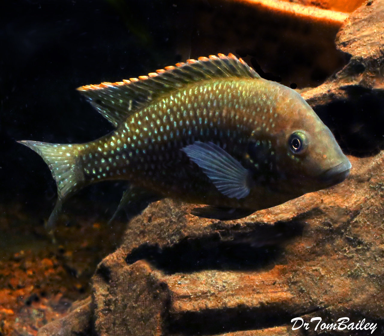 "Premium, Very Rare, New, Danakilia Shukoray Cichlid, 2.5"" to 3"" long, from Eritrea in Northeastern Africa"