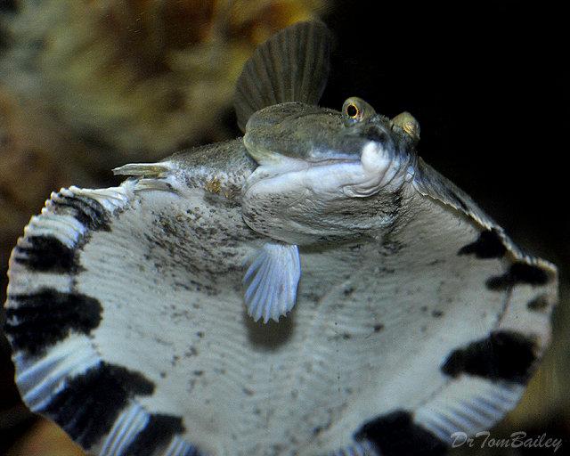 Premium Freshwater Flounder, 1