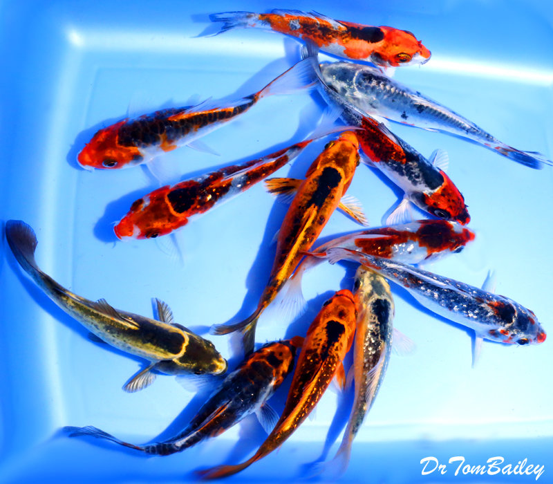 "Premium Assorted Matsuba Koi, 4"" to 4.5"" long"