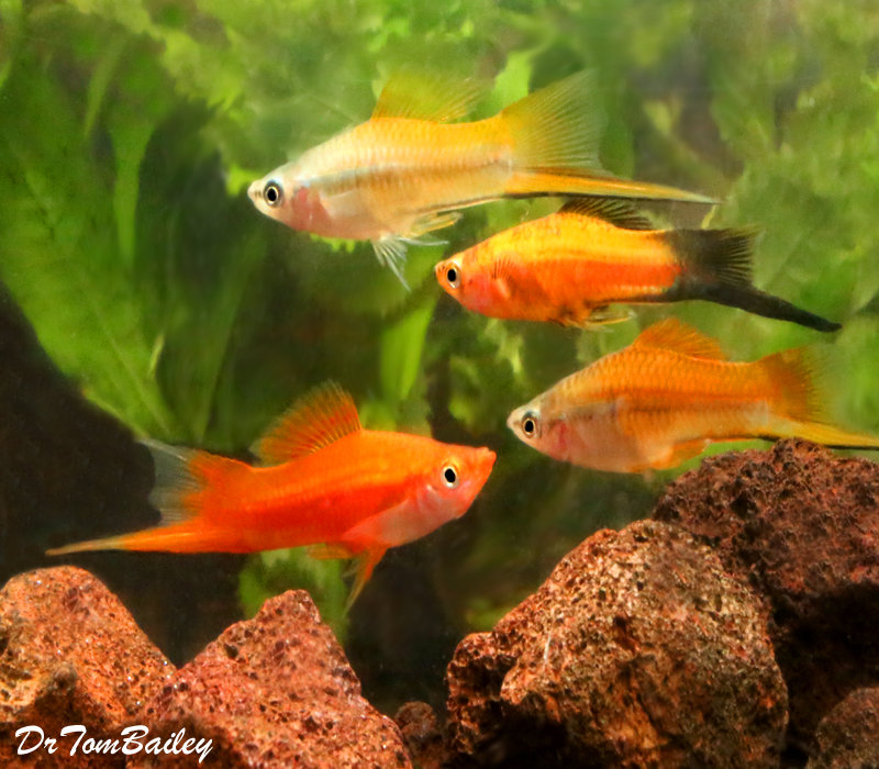 """Premium MALE Assorted Swordtails, 2"""" to 2.5"""" long (Males only no females in this code.)"""