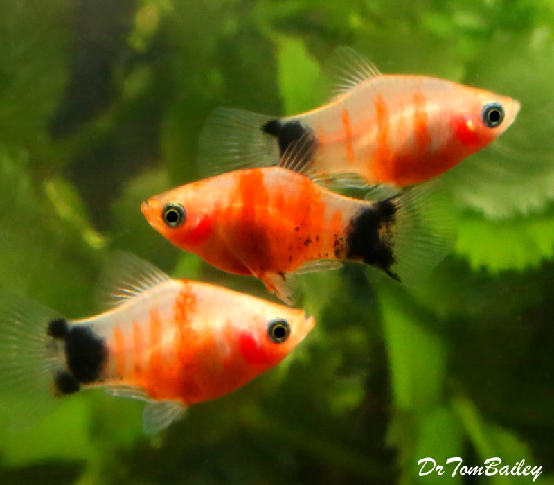 """Premium Rare and New, Tiger Ruby Mickey Mouse Platy, 1"""" to 1.5"""" long"""