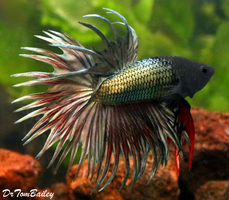 "Premium Green Male Crowntail Betta, 2.5"" to 3"" long"