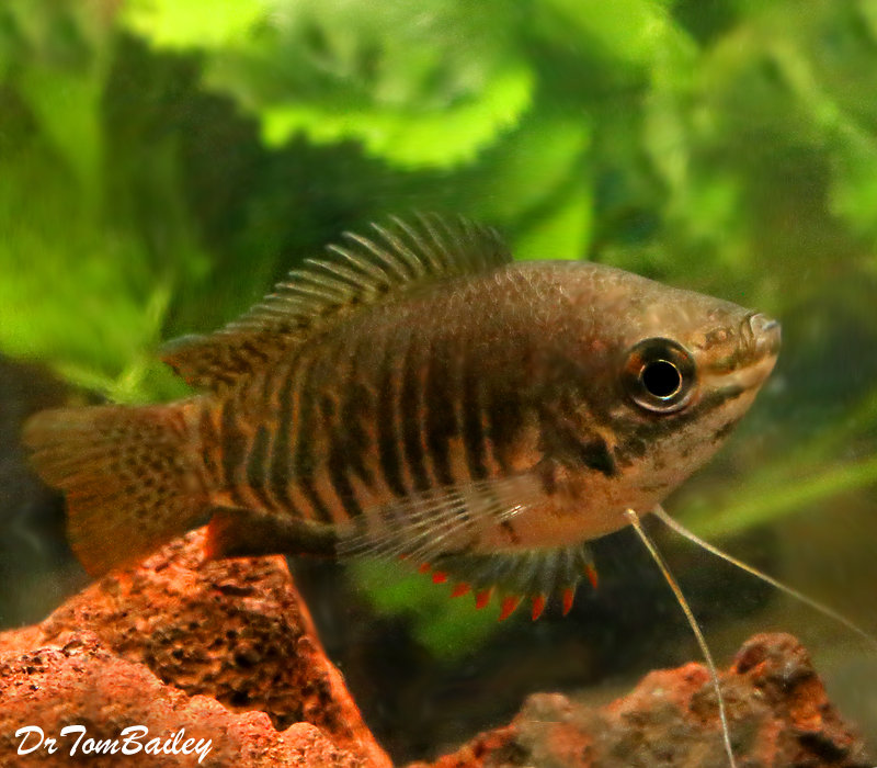 "Premium Thick-Lipped Gourami, 2.5"" to 3"" long"