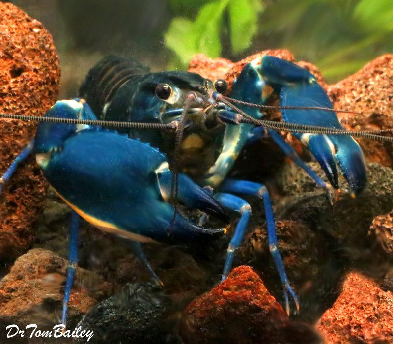 "Premium Rare Blue Moon II Lobster, 3"" to 4"" long"