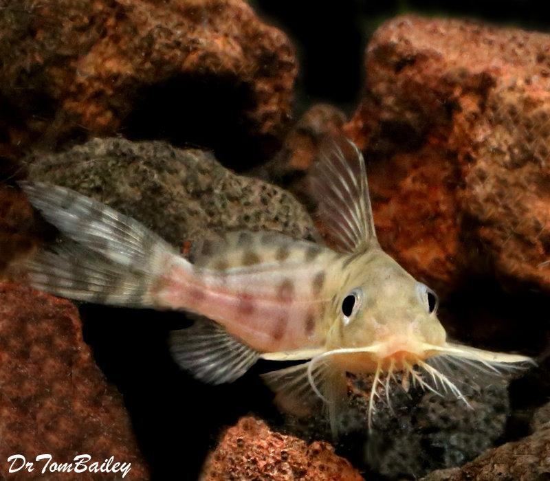 "Premium, Rare, Synodontis Ocellifer Catfish, 1.5"" to 2"" long"