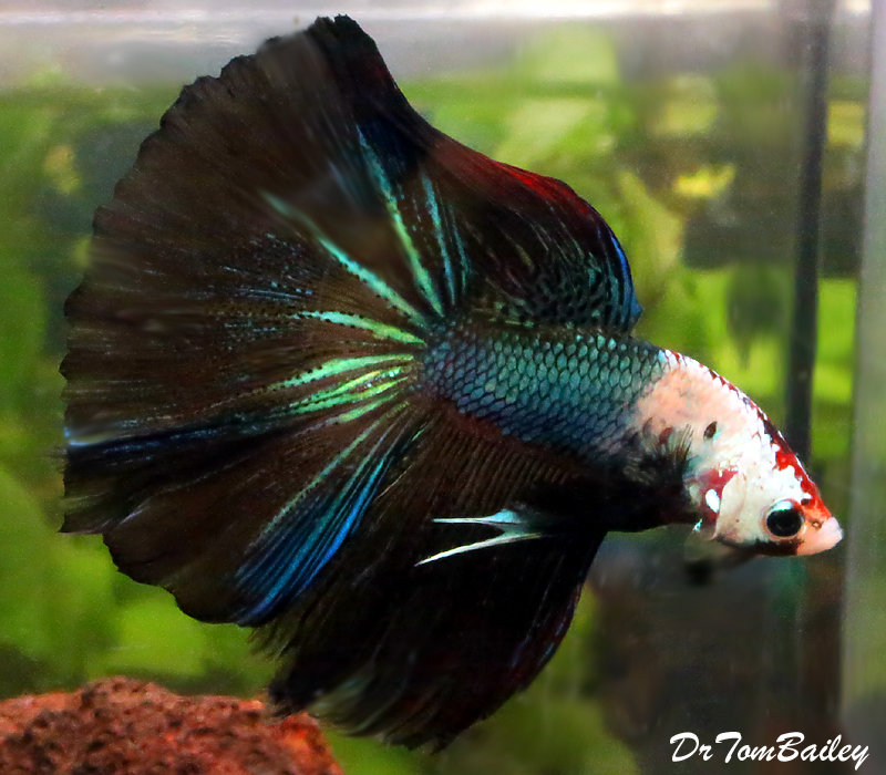 Premium WYSIWYG Show Rose Petal Unique Halfmoon Male Betta  2.5-3""