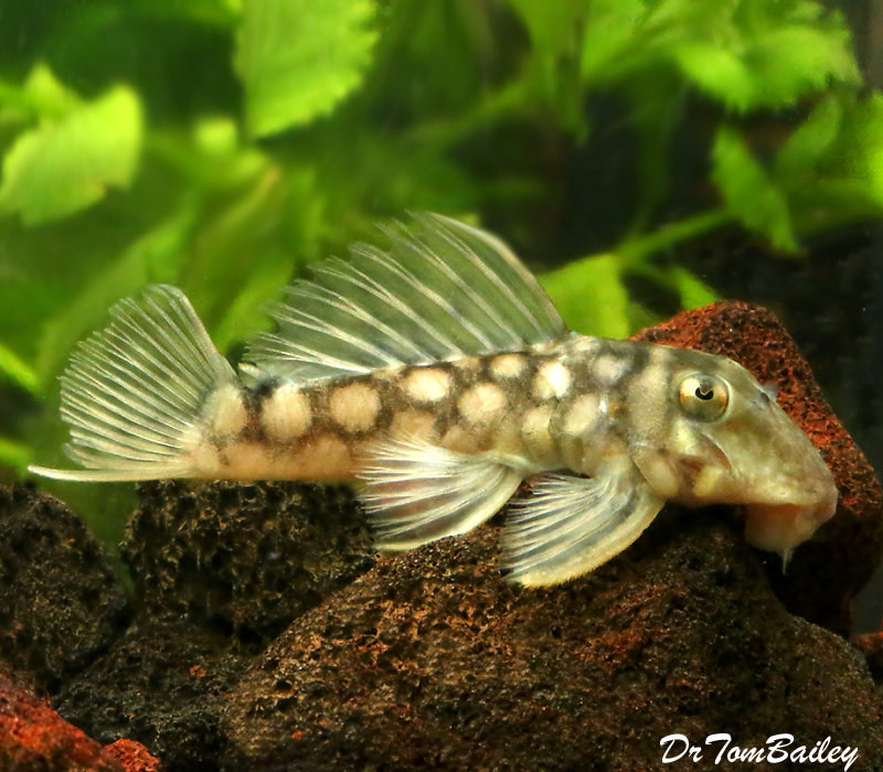 "Premium, Wild, Rare, Polka Dot Plecostomus Catfish, Spectracanthicus zuanoni, L020, about 3"" long"