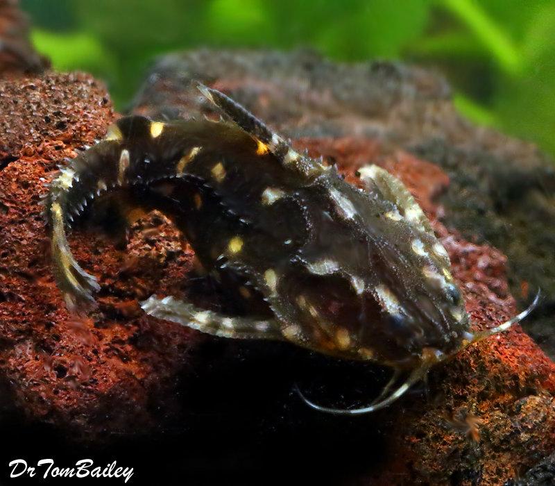 "Premium Wild Spotted Raphael Talking Catfish, 2.5"" to 3"","